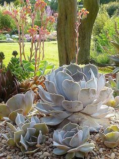 Echeveria lilacina | Flickr - Photo Sharing! by RioLeigh