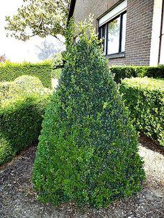 Plants Trees Perennials Online from the Plantguyz   Ornamental Shrubs
