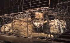 China's annual dog meat festival under growing pressure as 200,000 sign petition