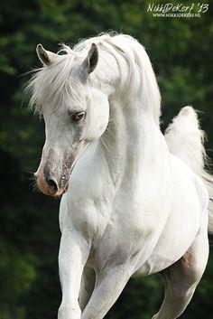 .Pure white Arabian ...w o w