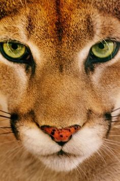 I'm no BYU fan. But they chose a great mascot.  Cougar.