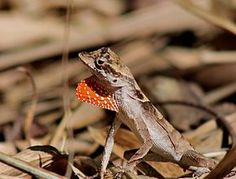 Anolis(Norops) chrysolepis — Wikipédia