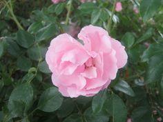 Pink flower by Birdsong231.deviantart.com on @DeviantArt