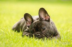 Franse bulldog tijdens fotoreportage