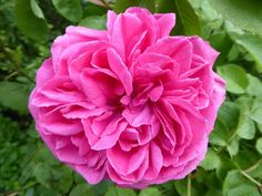 (188) The Friends of Vintage Roses