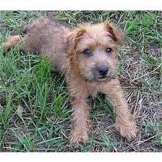 1000+ images about Cairn Terrier/Poodle on Pinterest ...