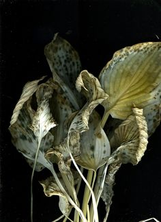 Hosta leaves. Decaying beauty.