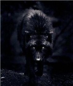 82 Mejores Imágenes De Lobo Solitario Lone Wolf Wild