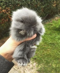 Miniature rabbit - I want one! Cute Baby Bunnies, Funny Bunnies, Cute Funny Animals, Cute Baby Animals, Animals And Pets, Pet Rabbit, Dwarf Rabbit, Lana Banana, Miniature Rabbits