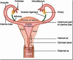 the reproductive system essay 10 strong college essay topic ideas in reproductive biology  write a complete  description of the reproductive system including all of its function and.