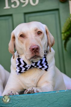 Spring Fever with a Pinch of Sophistication – Its a Lab Thing | Dog | Puppy | Labrador Retriever | Pet Photography | Dogs | Puppies | Fashion