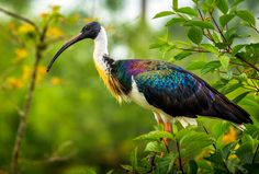 The Straw Necked Ibis was one of the many wildlife attractions at black brook zoo. The zoo is no longer in existence. Pretty Birds, Love Birds, Beautiful Birds, Animals Beautiful, Cute Animals, Shoebill, Ancient Greek Words, Creature Concept, Colorful Birds