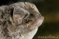 African Long-Fingered Bat