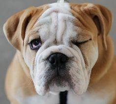 Bulldog...  Toi je t'ai à l'oeil !