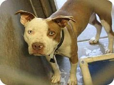 Mesa, AZ - Pit Bull Terrier Mix. Meet A3449169 a Dog for Adoption.