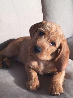 Basset Fauve de Bretagne pup Foof (Waaijpolder)