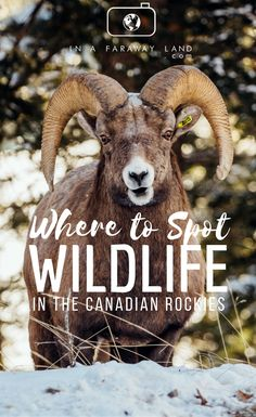 Where to Spot Wildlife in the Canadian Rockies - In A Faraway Land Vancouver Island, British Columbia, Banff National Park, National Parks, Banff Hotels, The Beautiful Country, Beautiful Places, Visit Canada, Canadian Rockies