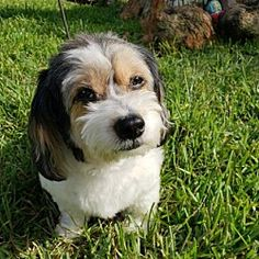 Dachshund Rescue South Florida is an animal rescue located in Weston, Florida Small Dog Rescue, Rescue Dogs, Animal Rescue, Cute Puppies, Cute Dogs, Dogs And Puppies, Small Dog Breeds, Small Dogs, Small Breed