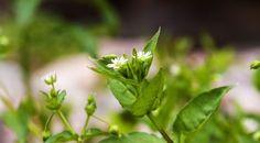 Vom Gärtner oft verflucht, ist dieses Kraut doch einer unserer besten Freunde. Es schützt die Erde, schmeckt in vielen Speisen und ist ein starkes Heilkraut