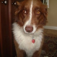 """Sheba giving her best """"give me a treat"""" look."""