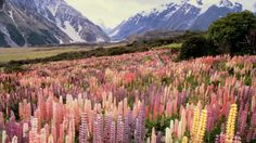 Love maine lupines and these too! Wild lupines in Mount Cook National Park, New Zealand Beautiful World, Beautiful Places, Beautiful Pictures, Beautiful Flowers, Exotic Flowers, Beautiful Scenery, Simply Beautiful, Purple Flowers, Amazing Places