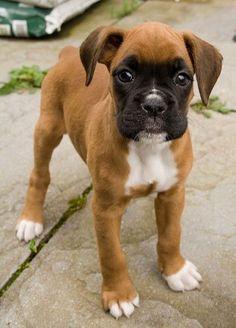 Boxer puppy! How adorable!