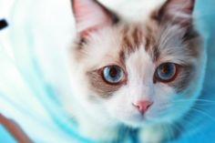 Blue Moon blog Ragdoll cat