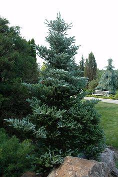 Find Silver Snow Korean Fir (Abies koreana 'Silver Snow') in Saskatoon, Saskatchewan (SK) at Lakeshore Garden Centres (Horstmann's Silberlocke Korean Fir) Front House Landscaping, Landscaping Trees, Garden Park, Lawn And Garden, Garden Trees, Trees To Plant, Tree Id, Fir Tree, Deer Resistant Landscaping
