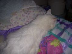 my cat snowbelle