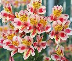 Image result for Alstroemeria