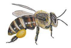 Honingbij met klompje stuifmeel