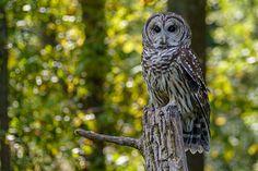 Barred Owl at the Schlitz Audubon Nature Center