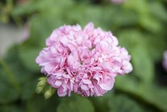 Ruusunnuppupelargoni Prinsessa Madeleine