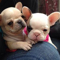 French bulldog puppies #Buldog #DogCutest
