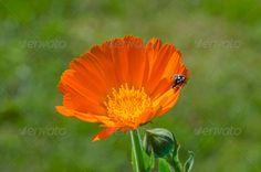 luck symbol ladybird ladybug on fresh calendula marigold flower ...  animal, beautiful, blossom, bud, bug, calendula, concept, flower, green, herb, herbal, insect, ladybird, ladybug, luck symbol, macro, marigold, medical, medicine, natural, nature, orange, plant, red, success, wild
