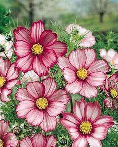 Heirloom 300 Seeds Garden Cosmos bipinnatus Cosmea Wild Mexican Aster Mixed Flower Seeds B1045, $1.79