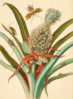 Pineapple (Ananas comosus) with Australian cockroaches (Periplaneta australasiae) and German cockroaches (Blatella germanica) by Maria Sibylla Merian From Metamorphosis Insectorum Surinamensium (Insects of Suriname), Dutch edition ( 1719 ). Vintage Botanical Prints, Botanical Art, Botanical Illustration, Nature Illustration, Pineapple Drawing, Sibylla Merian, Pineapple Images, Nature Prints, Wall Art Pictures