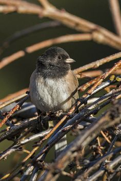 Build a Brush Pile for Birds This simple backyard project offers shelter for birds in all seasons. Dark-eyed Junco. Photo: Christine Haines/Great Backyard Bird Count