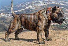Mollosso Presa Mayo - the concept of new breed!