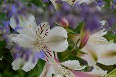 Astromeria. ou lys des incas.