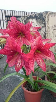 Lily Plants, Flower Garden, Flowers Gif, Flower Garden Images, Garden Crafts, Lily Flower, Beautiful Flowers, Amaryllis Flowers, Garden Plants