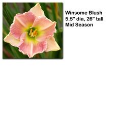 """Winsome Blush"" daylily $7.50 per double fan at Smithdaylilies.com"