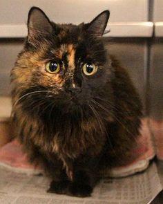 Whiskey Tortoiseshell Cat | Spokane WA