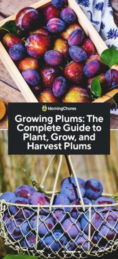 Growing Plums: The Complete Guide to Plant, Grow, and Harvest Plums