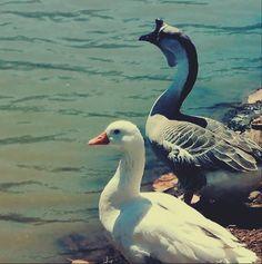 Patos em um lago, município de Taquaritinga do Norte, Agreste de Pernambuco.