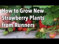 Step-by-step advice on how to propagate new strawberry plants from runners.