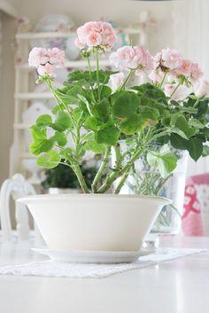 Mårbacka -Pelargonium