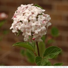 Fragrant shrubs | Garden Gate eNotes