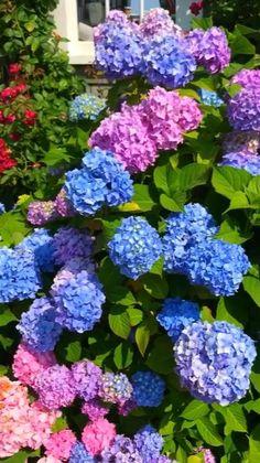 Hortensia Hydrangea, Hydrangea Care, Hydrangea Flower, Hydrangea Potted, Blue Hydrangea Wedding, Beautiful Flowers Garden, Exotic Flowers, Pretty Flowers, Small Gardens