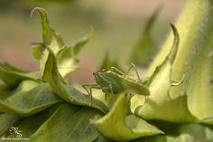 camouflage, grasshopper